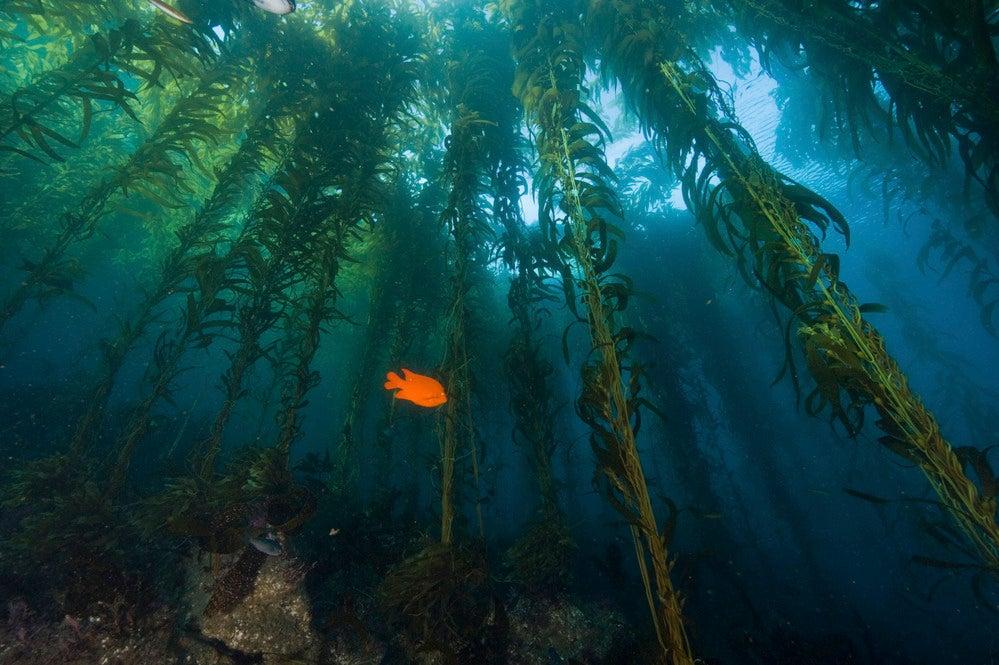 A Garibaldi fish swims through a California kelp forest.