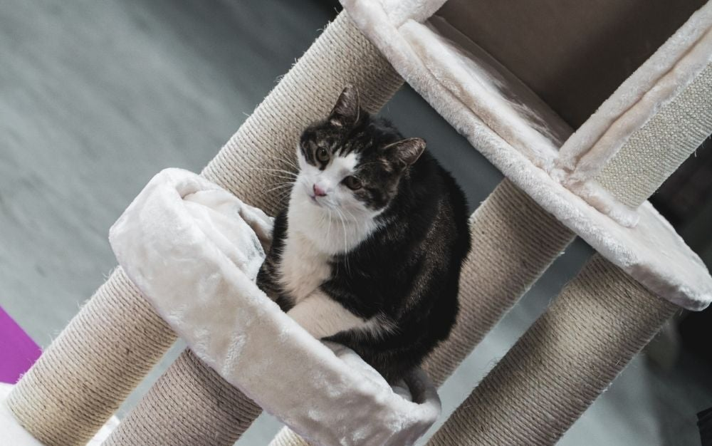 A black and white cat standing over a beige cat tree.