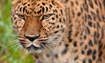 Jaguars could roam the US once again