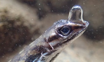These lizards use built-in 'scuba gear' to breathe underwater
