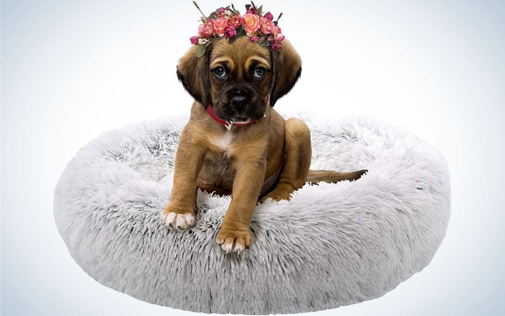 A brown small dog with some flowers on his head sitting in his grey plush bed.