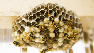 Black and yellow social wasps build a geometric nest.