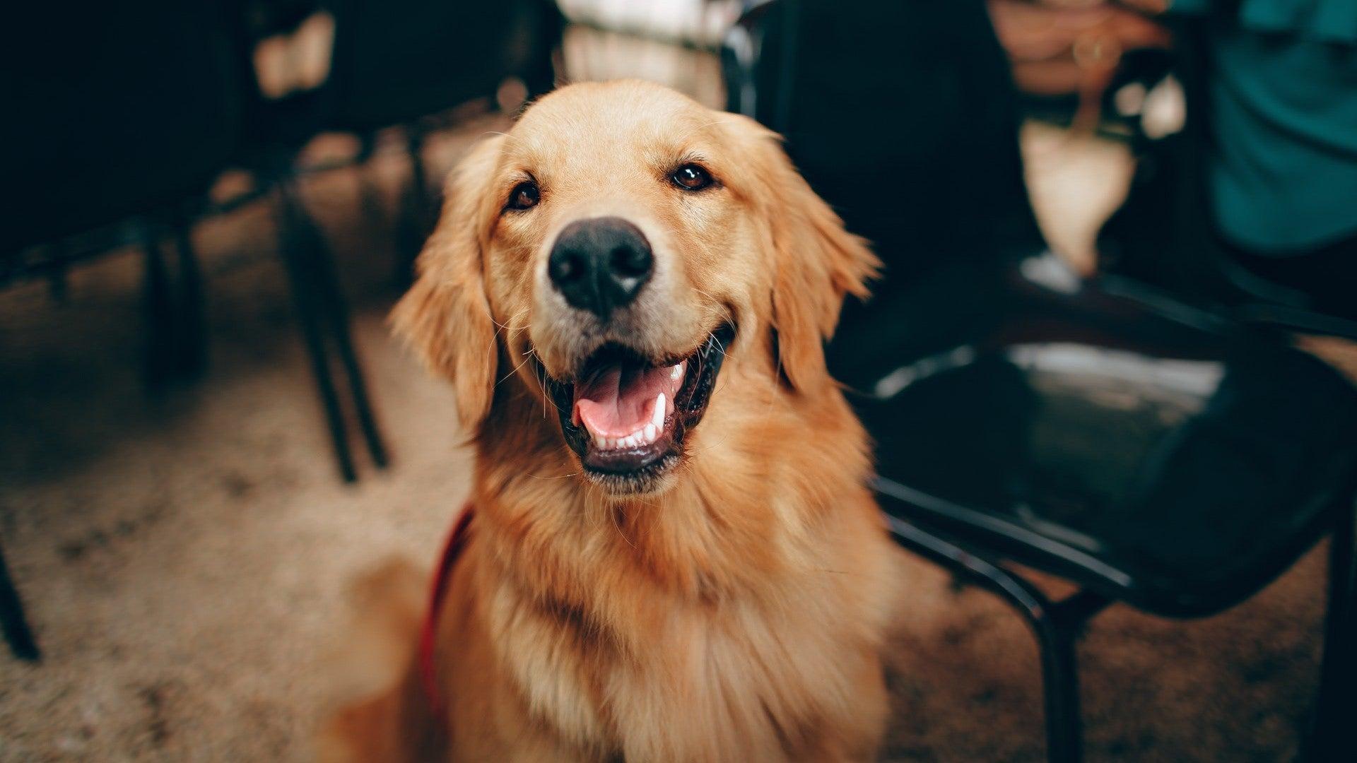 A golden retriever dog.