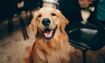 Dogs can sniff out COVID faster than PCR tests