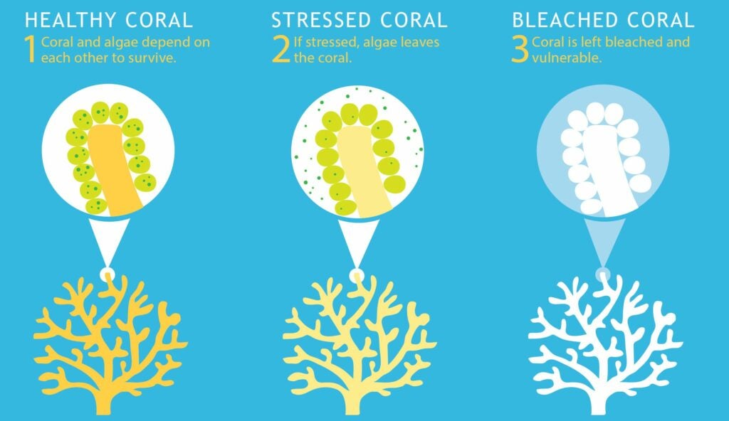 Three steps of coral bleaching on sky blue background