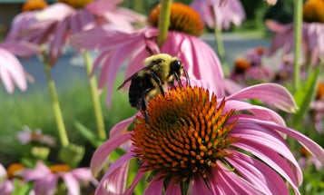 City gardens are abuzz with imperiled native bees