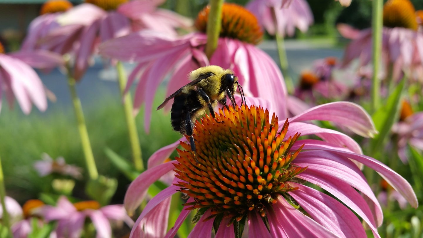 A bumble bee drinks nectar from a purple cone flower.