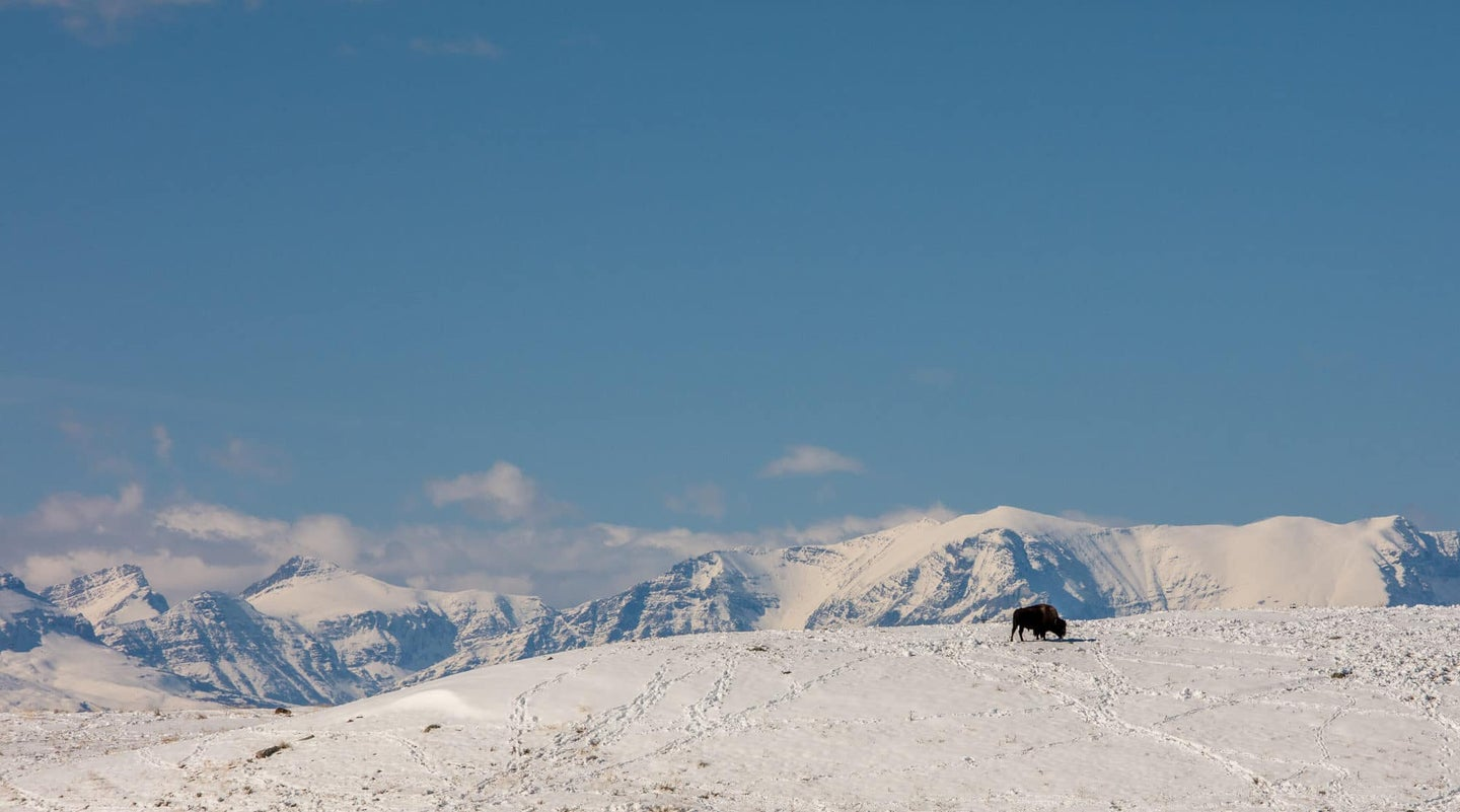 Bison foraging on a snowy mountain range
