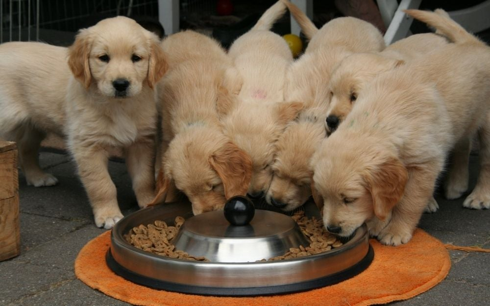 retriever puppies best dry dog food