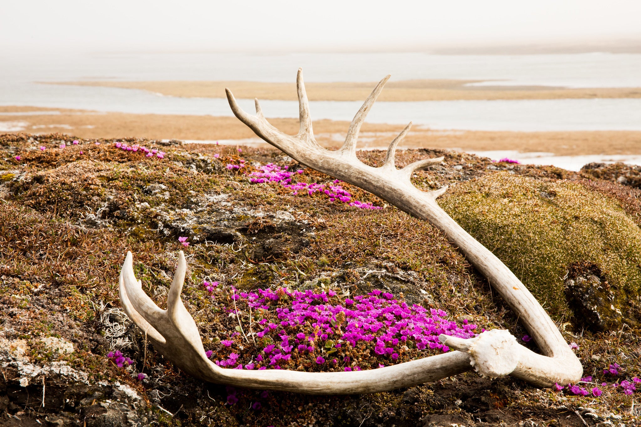 Purple flowers under caribou antlers on the misty Arctic coastal plain