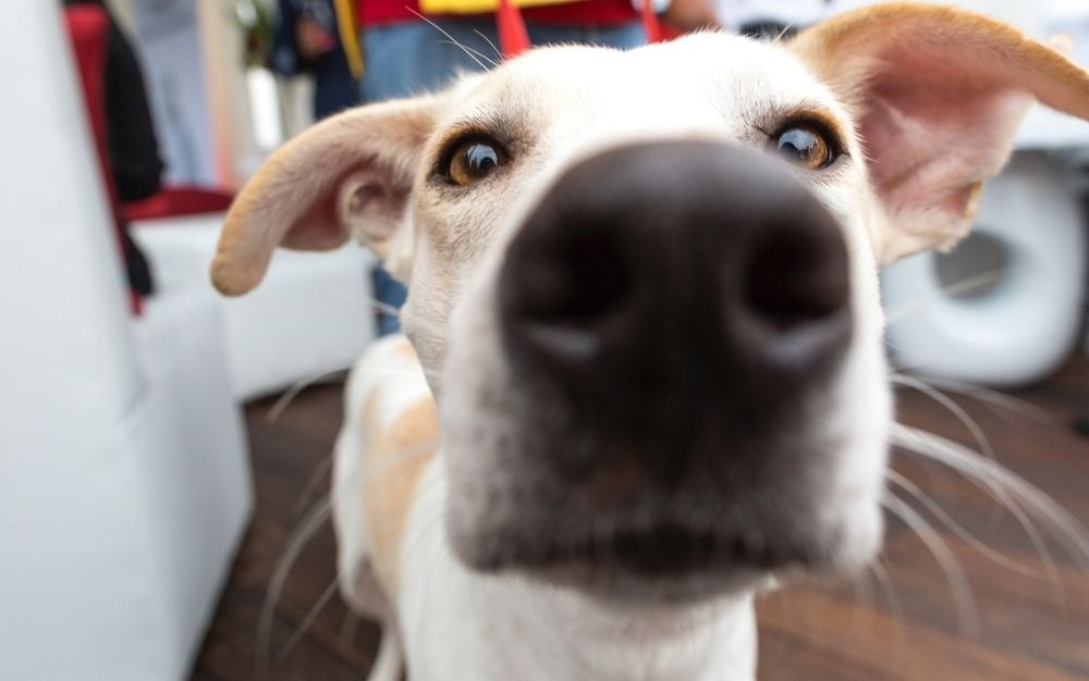 Photo of a dog looking into the best dog camera.