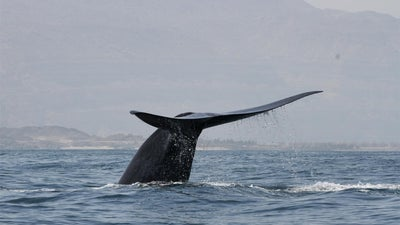 How bomb detectors discovered a hidden pod of singing blue whales