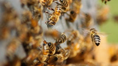 Temperature tells honey bees what time it is
