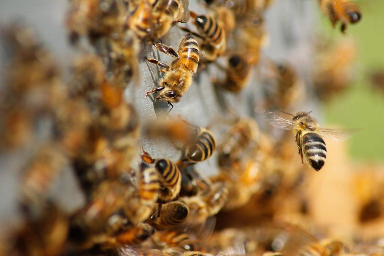 honey bees swarming
