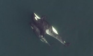 Drones revealed the intricate social lives of these killer whales