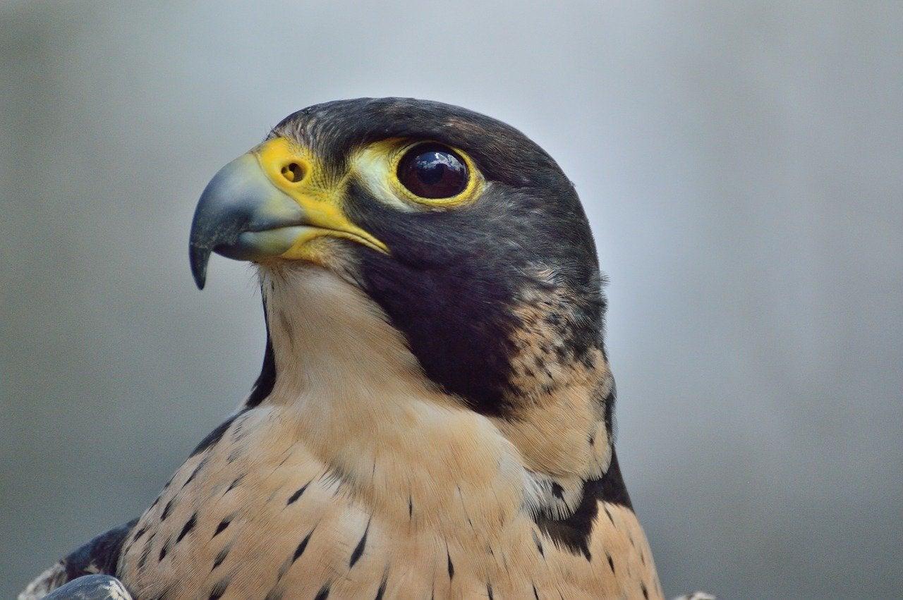 A peregrine falcon.