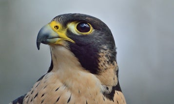 Peregrine falcons have natural eye makeup for a pretty fierce reason