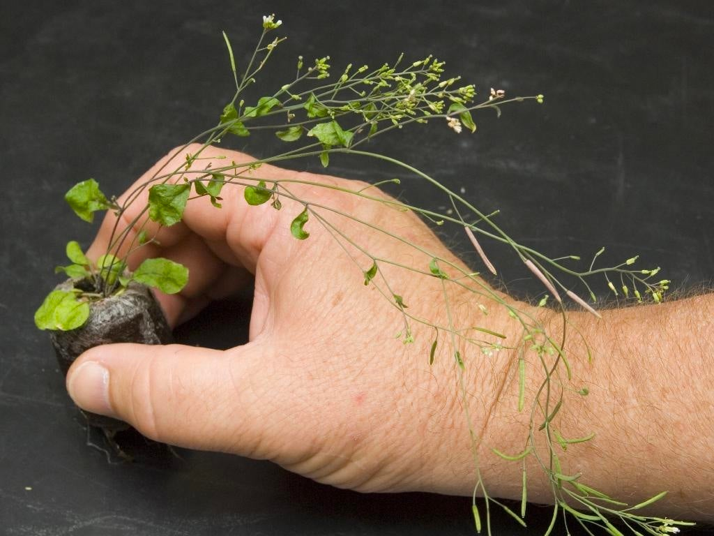 A human hand holds a common weed called a thale cress plant.