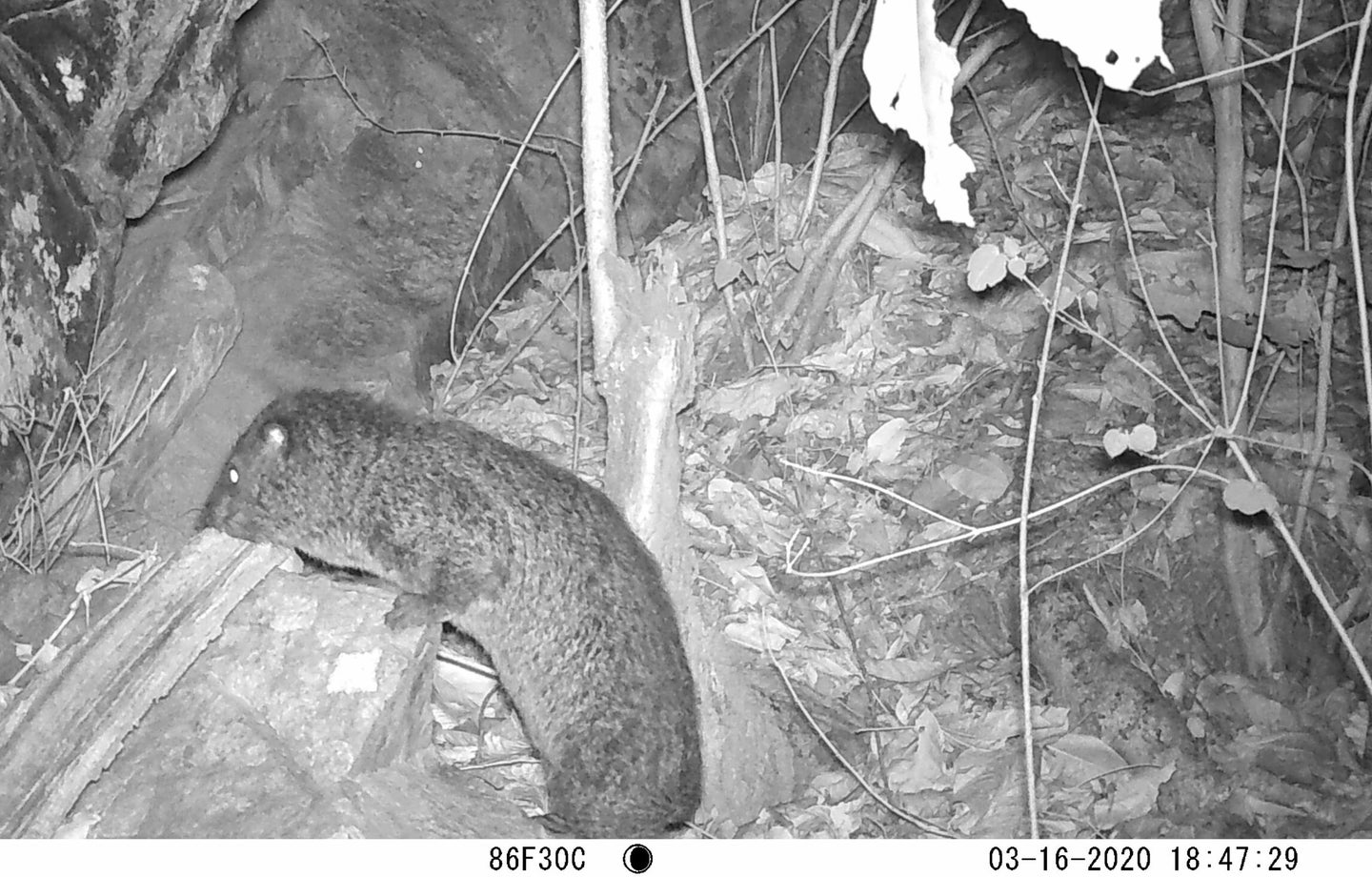 A furry looking, ground-hog like creature climbs onto a rock from the forest floor surrounded by leaf litter and tree saplings at night.