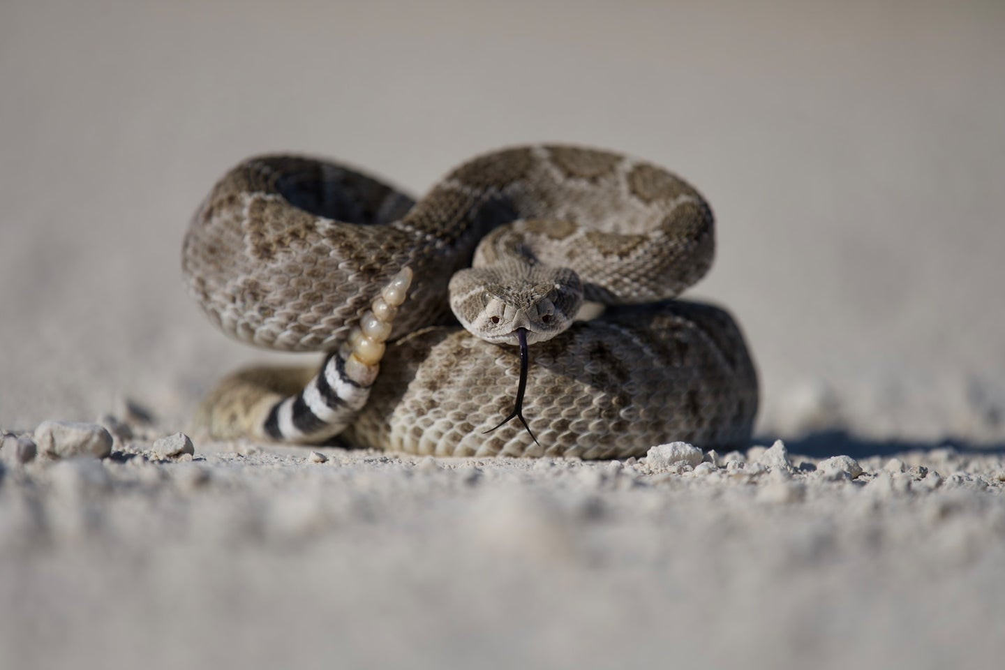 Rattlesnake flicking its tail on the sand