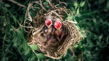 baby birds in a nest