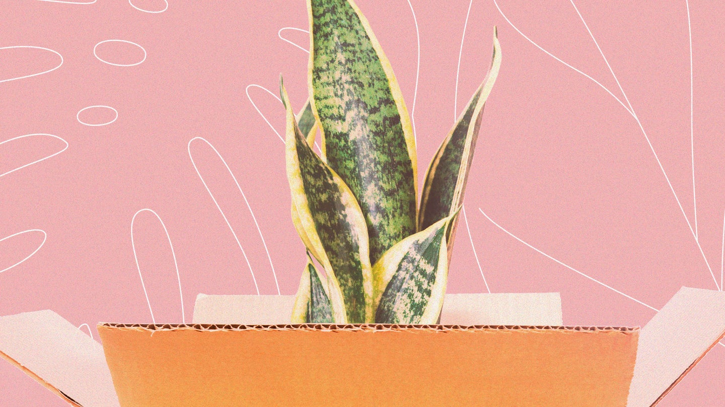 A snake plant sitting in an open cardboard box, ready for shipping.
