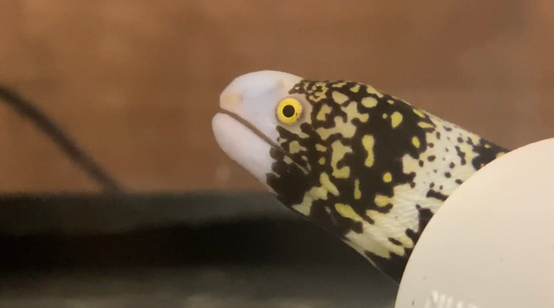 Moray eels enjoy surf 'n turf with a surprise second set of jaws