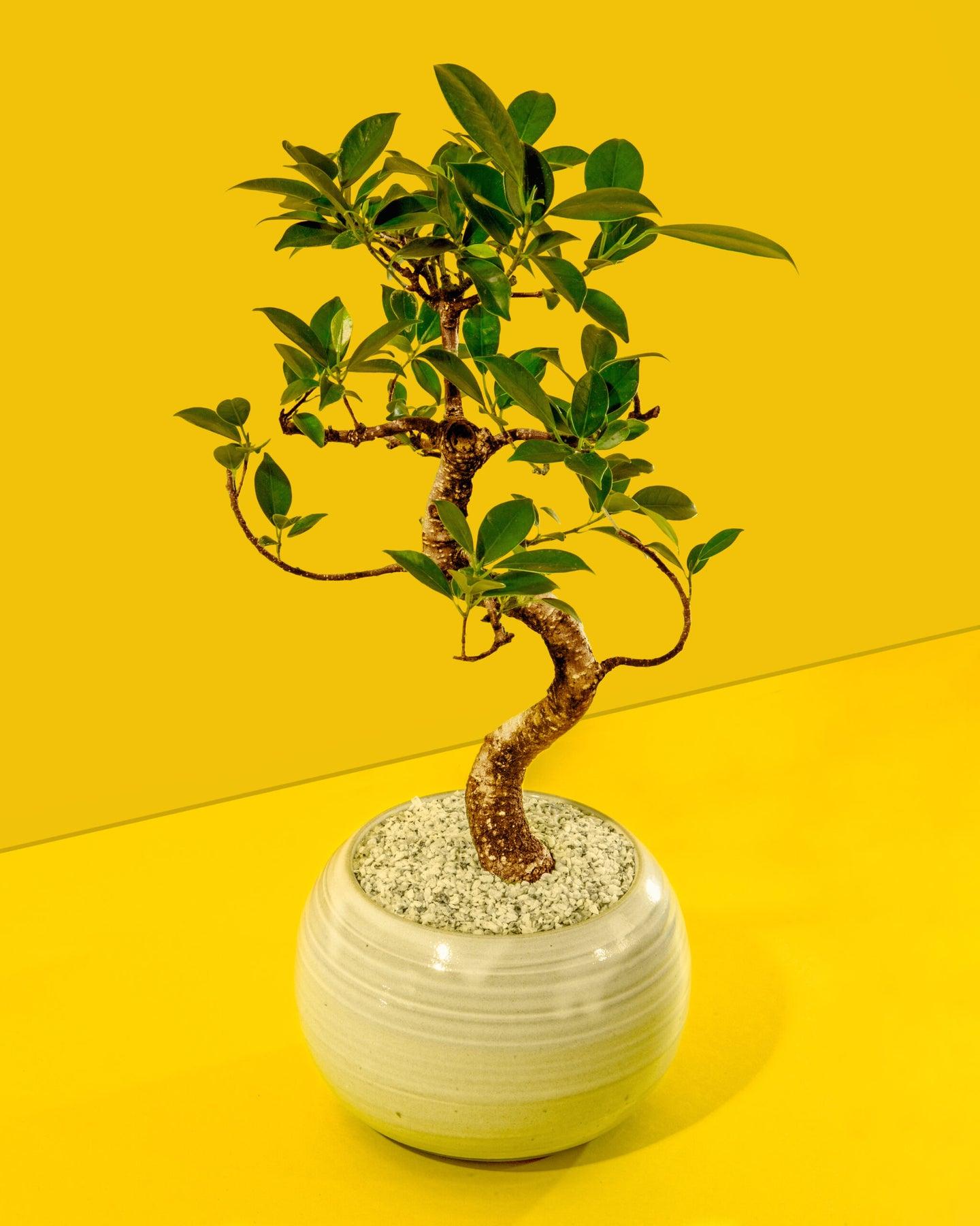 Chinese banyan bonsai tree on bright yellow