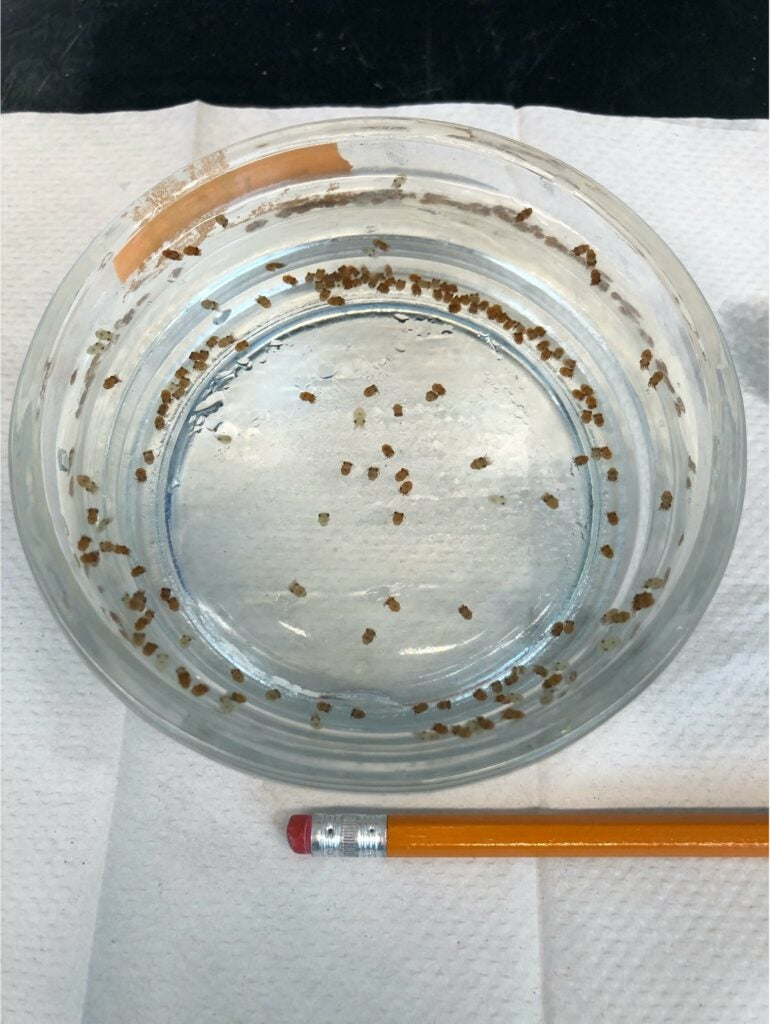 128 Hawaiian bobtail squid in a small Pyrex dish, with a pencil in the foreground for comparison.