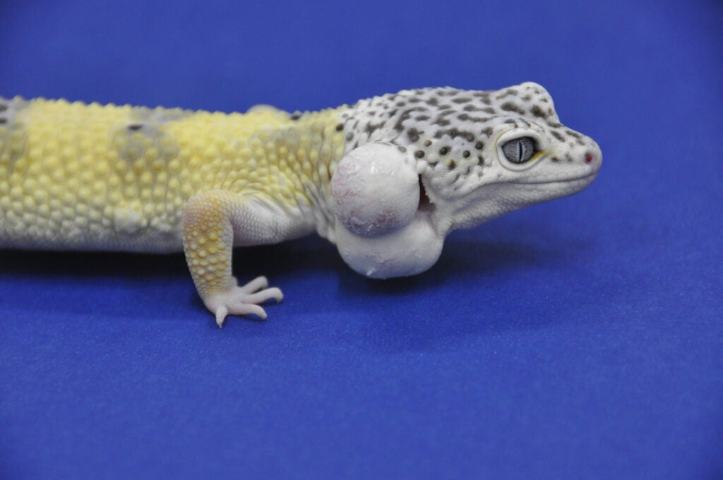 A Lemon Frost leopard gecko stands against a blue background. Two large white lumps protrude from the lizard's neck.