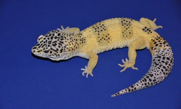These popular pet lizards may hold the key to studying skin cancer