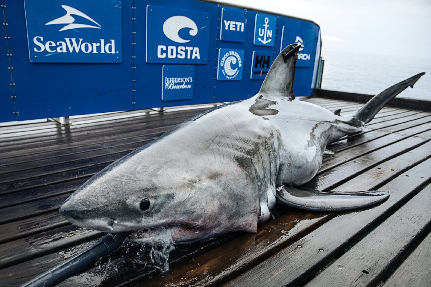 A great white shark on the deck of a blue-sided research boat