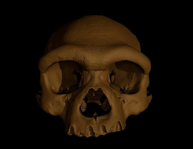 A 3-D rendering of a human-like skull faces forward against a black background. The skull is a tan color and has a pronounced brow ridge, large nose cavity, and square-ish eye sockets. The lower jaw is absent.