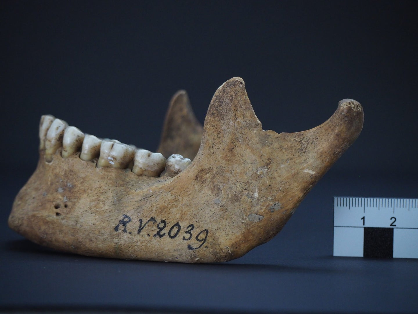 A highly weathered human jaw bone, labeled RV 2039.