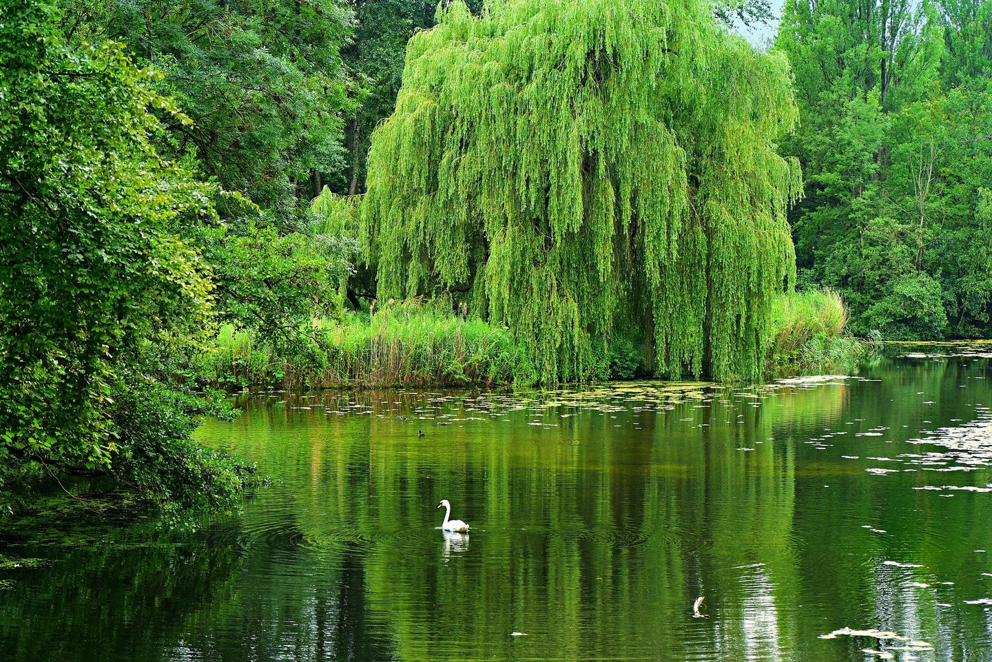 Willow trees could be a sustainable (and beautiful) way to treat wastewater
