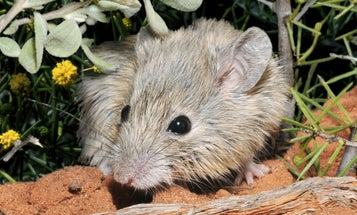 An 'extinct' Australian mouse has been thriving on a remote protected island