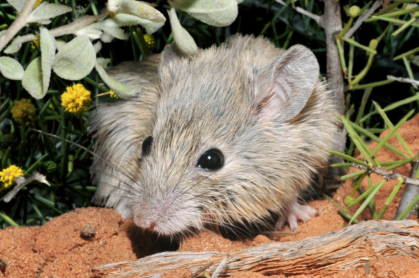 Close-up of a furry, grey and beige mouse with round ears standing on red dirt.
