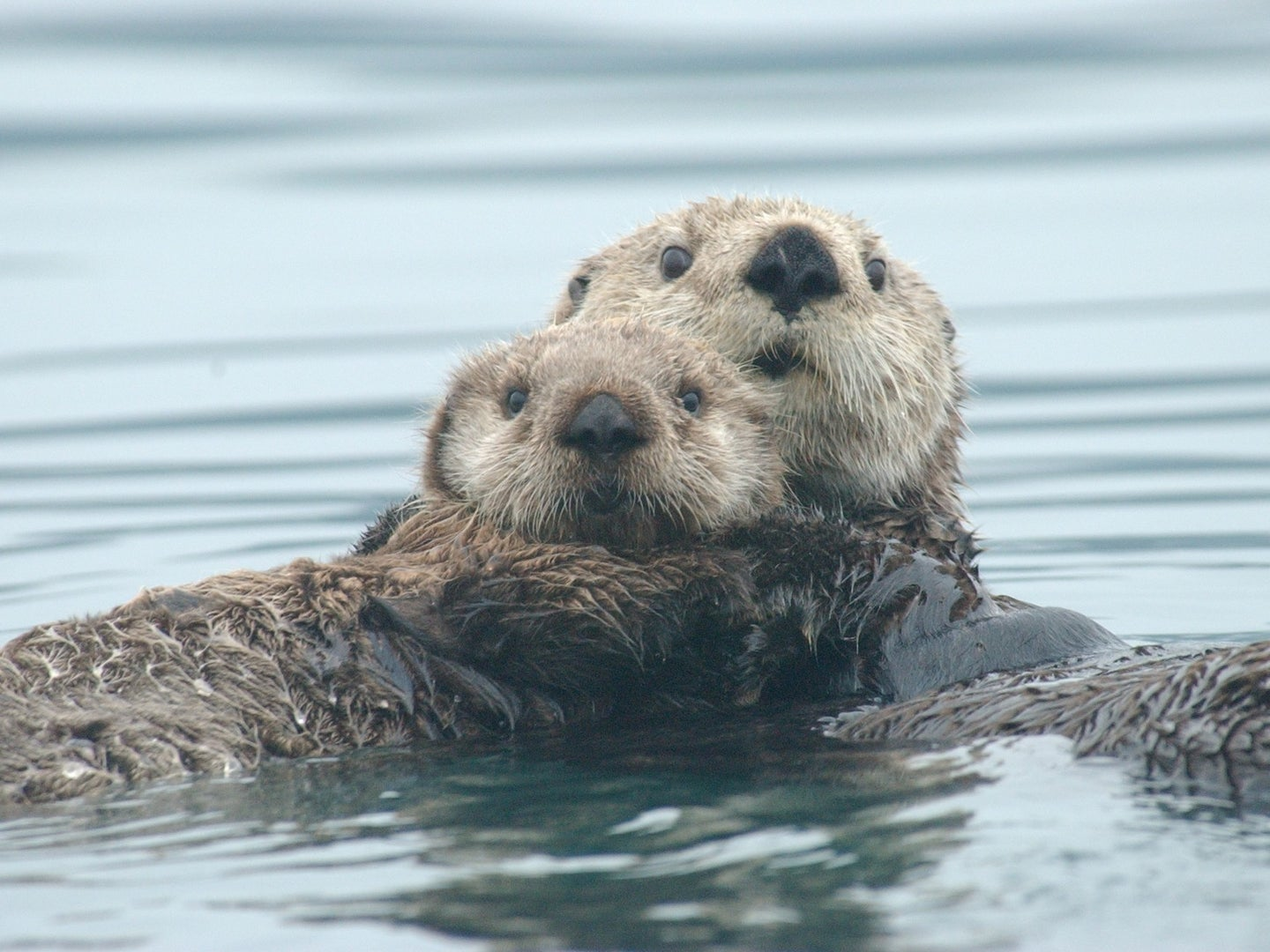 Sea otters defy our understanding of metabolism