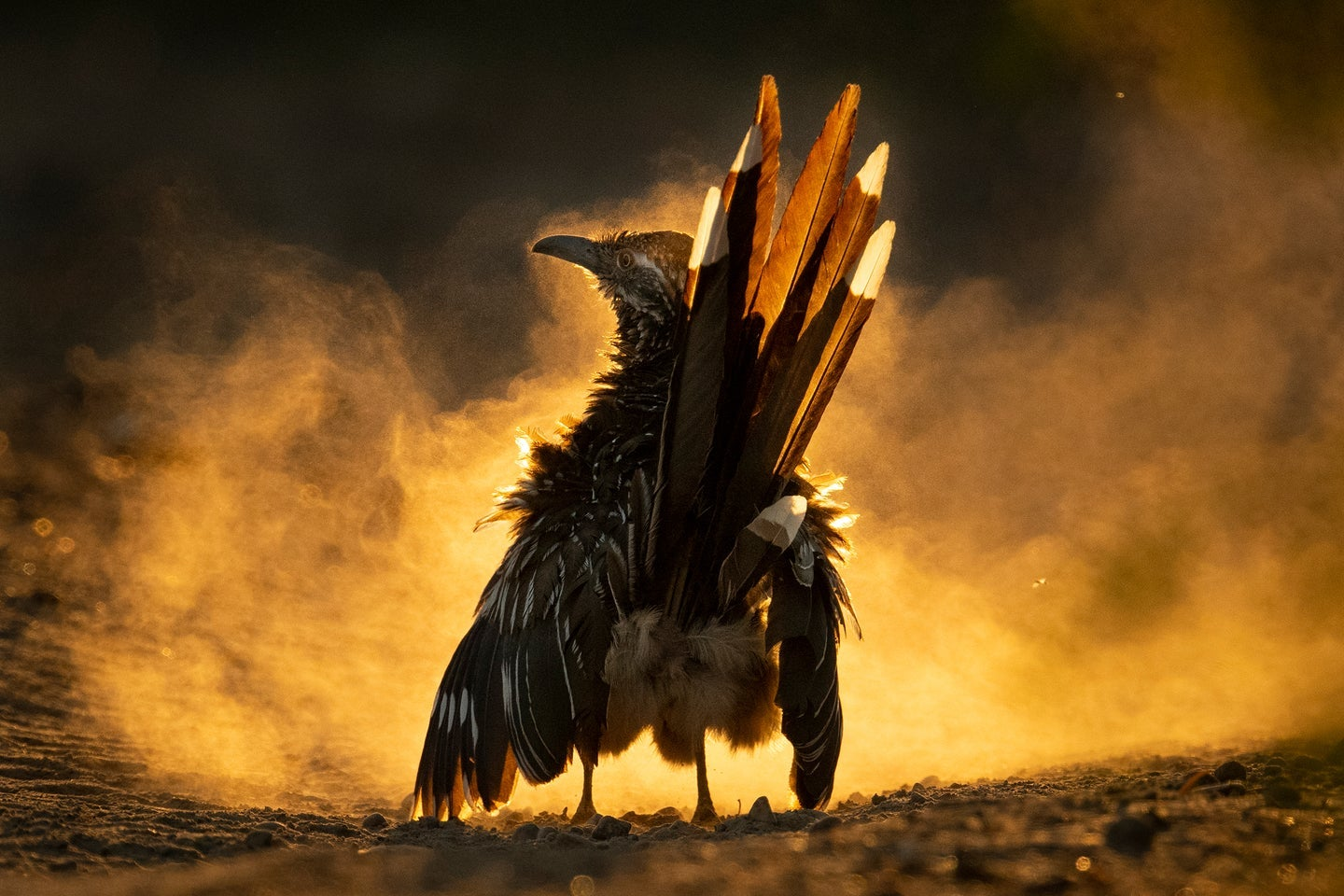 Great roadrunner with dust and sunlight swirling around it in
