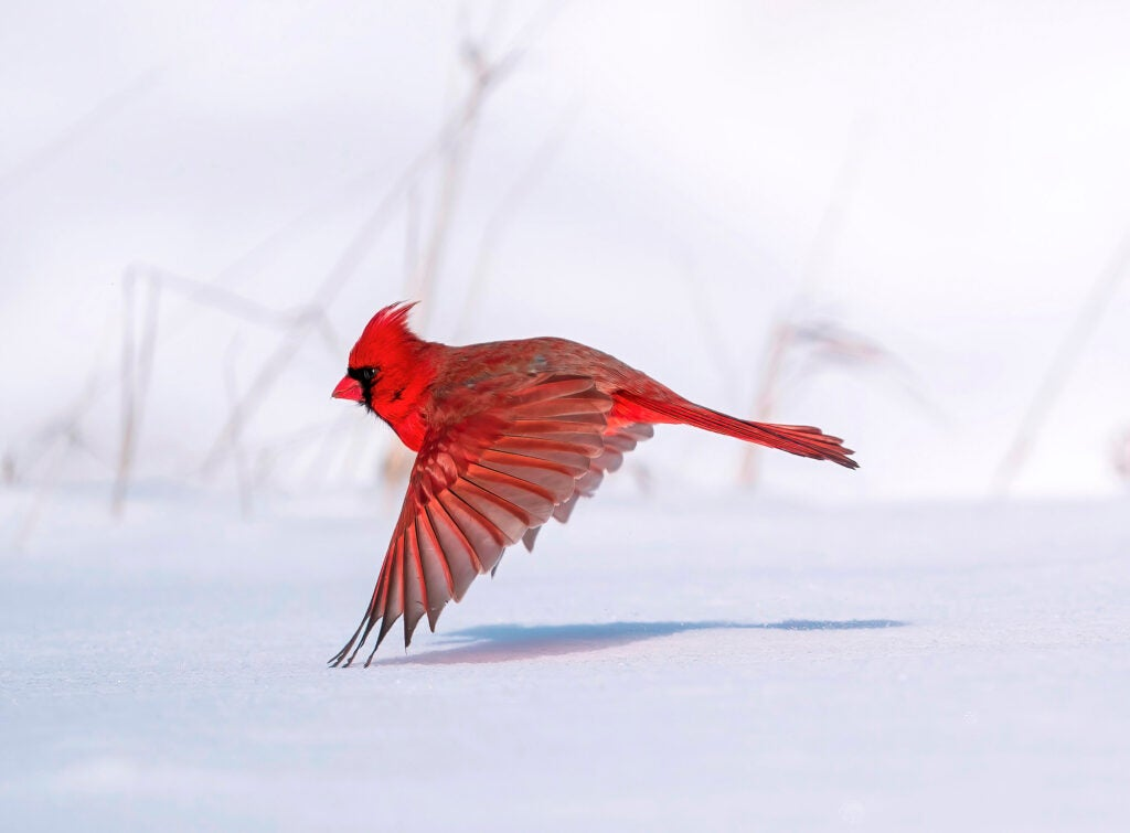 Male northern cardinal grazing the snow with wingtips