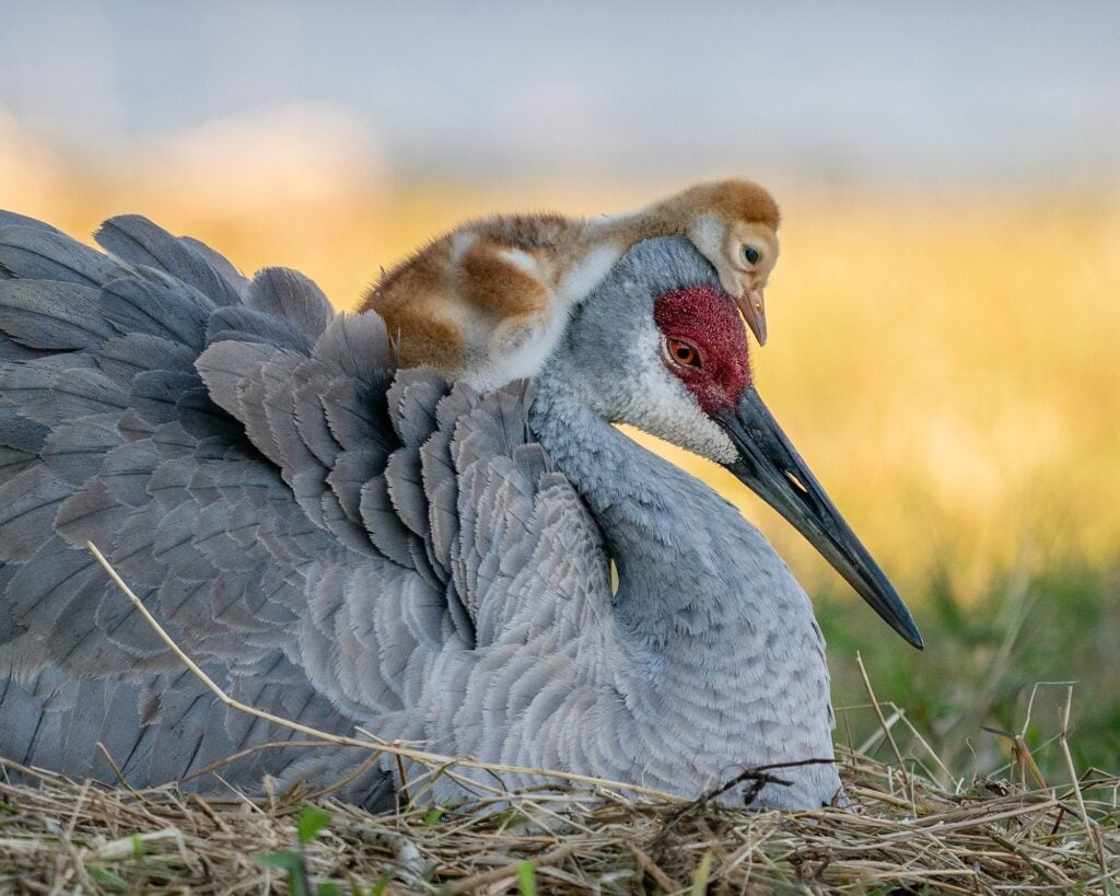 Sandhill crane chick climbing on top of parent's head