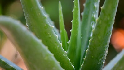 How to grow, harvest, preserve, and use aloe vera