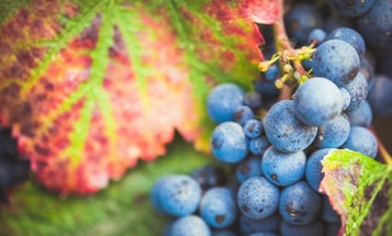 An accidental discovery could save a popular, struggling grapevine