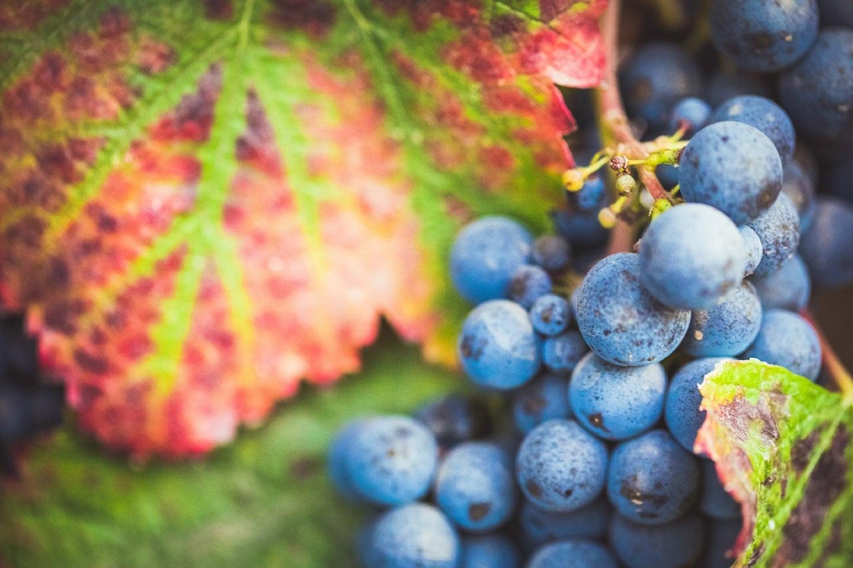 Purple wine grapes in a California vineyard