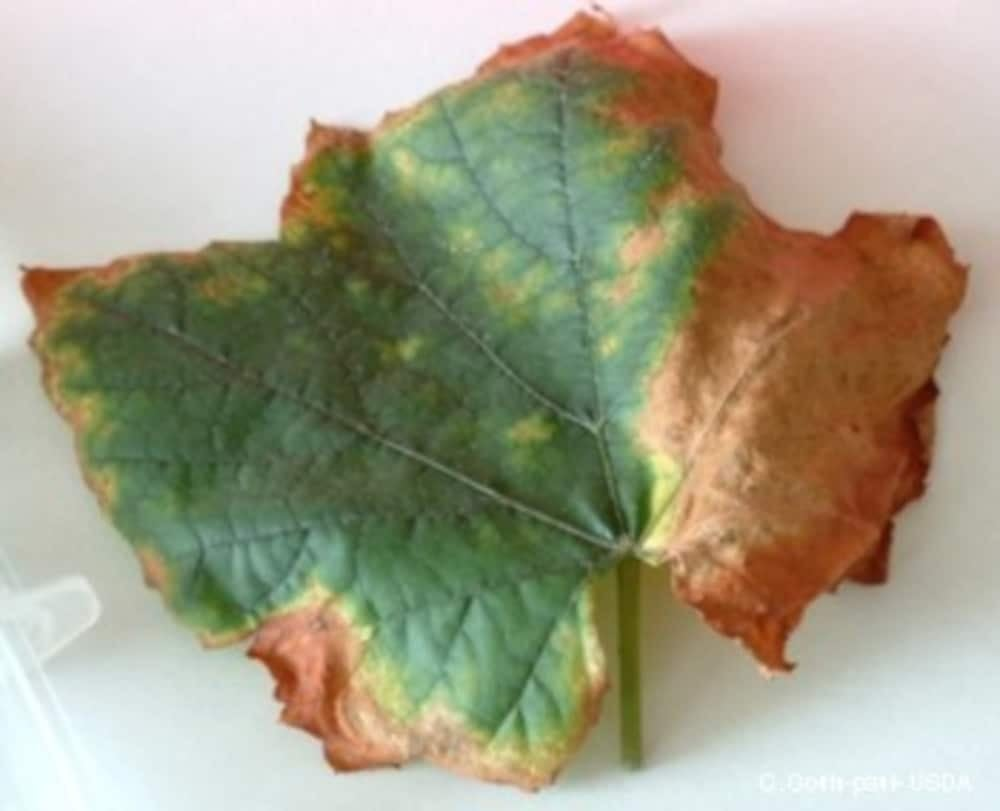 Grapevine leaf brown and withered with disease