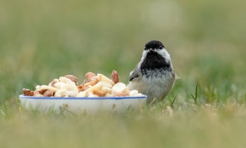 Wild birds don't need your backyard feeders to survive