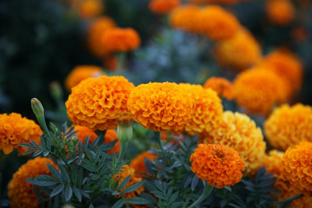 Marigolds, a type of edible flower.