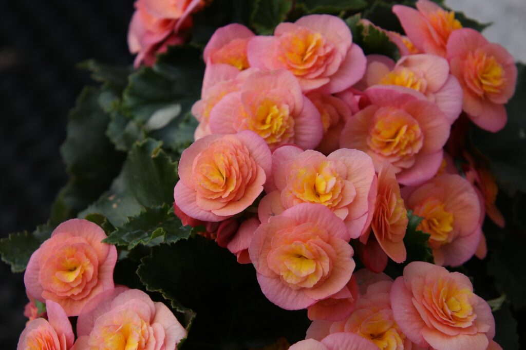 A group of pink flowers.