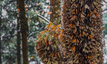 Monarch butterflies are beloved—and declining for this sad reason