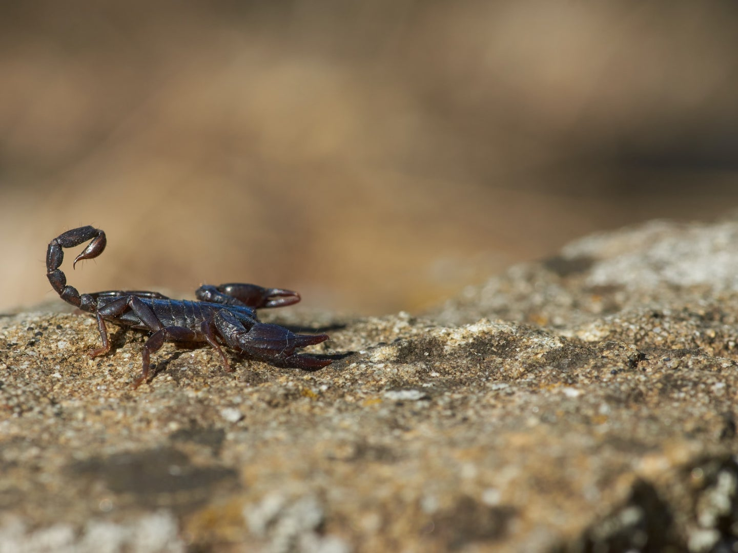 A brown scorpion on a light brown rock during the daytime.